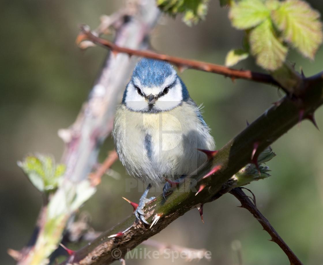 """Blue Tit (Cyanistes caeruleus)"" stock image"