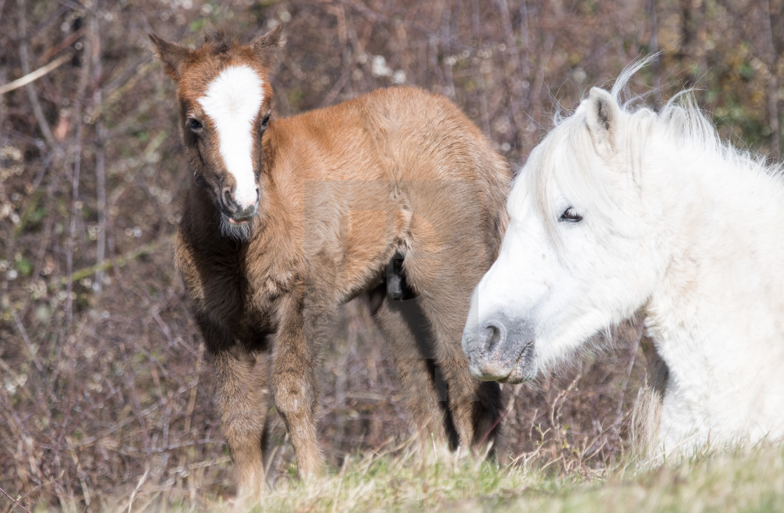"""Carneddau pony foal with mother"" stock image"