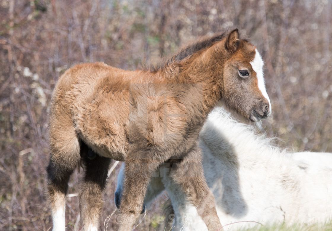 """""""Carneddau pony foal with mother"""" stock image"""