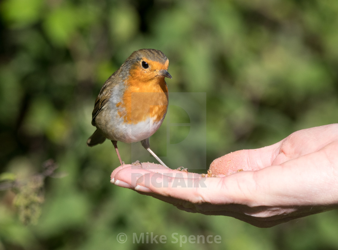 """Robin hand feeding"" stock image"