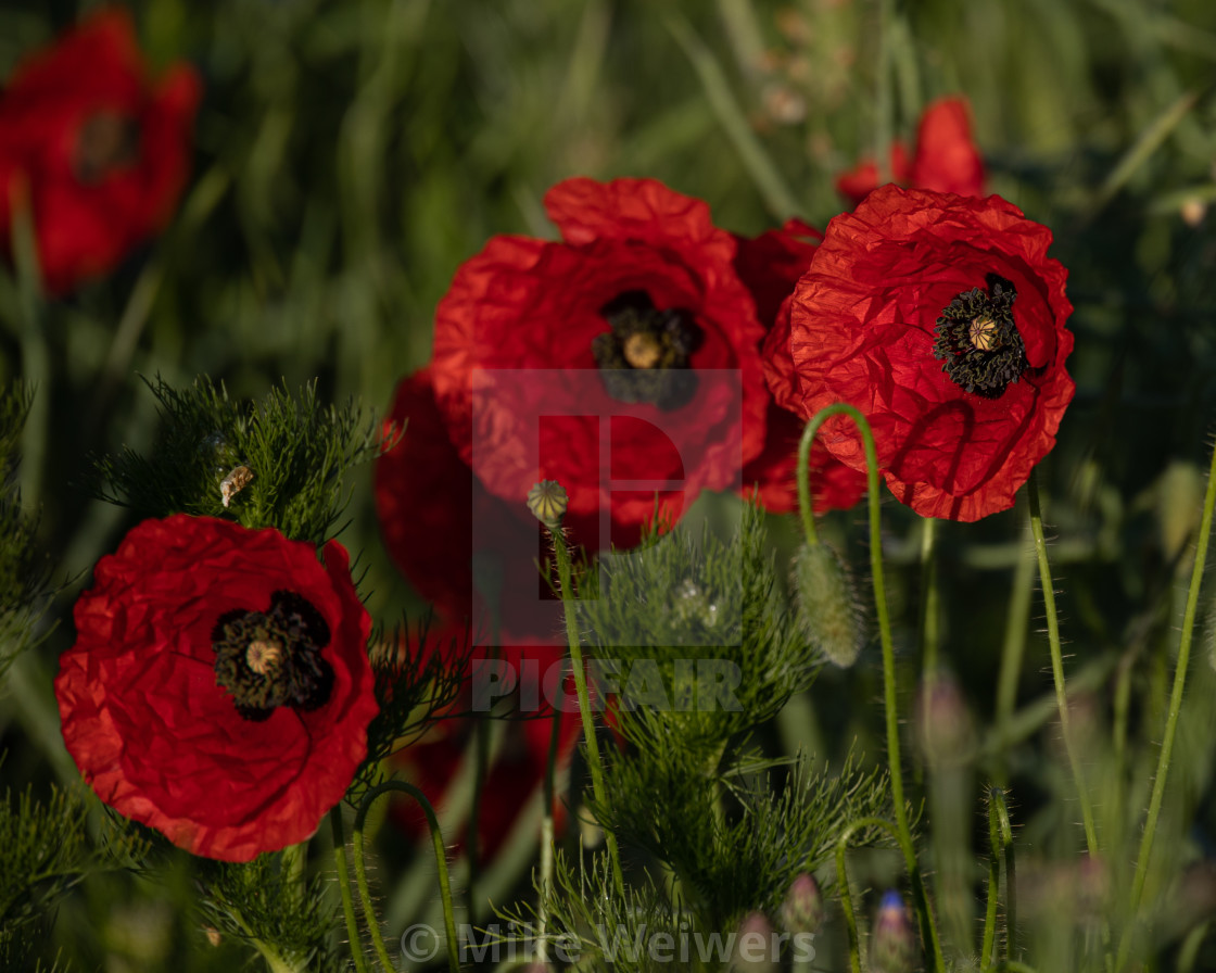 """""""Tree corn poppys with green background"""" stock image"""