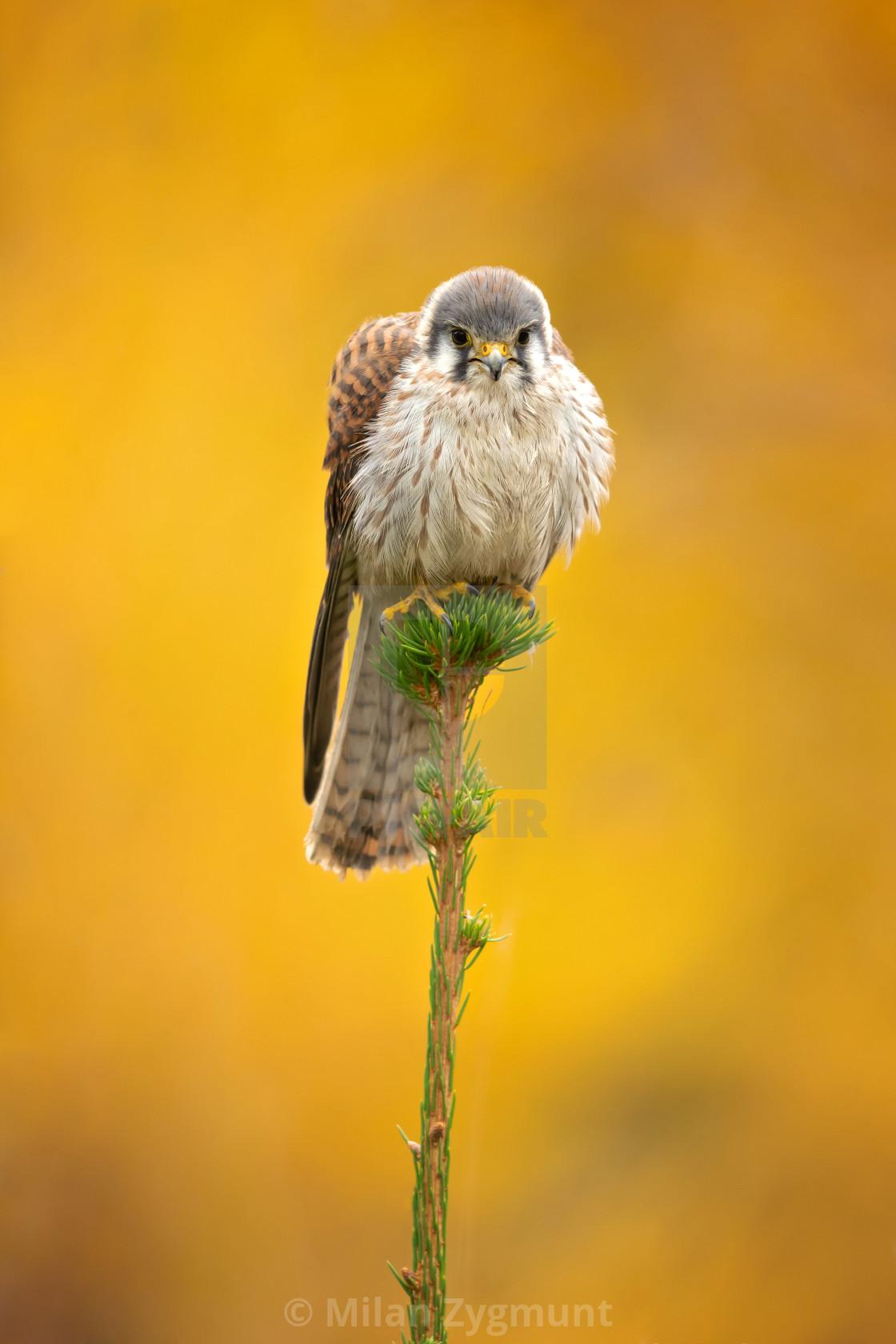 """American kestrel (Falco sparverius)"" stock image"