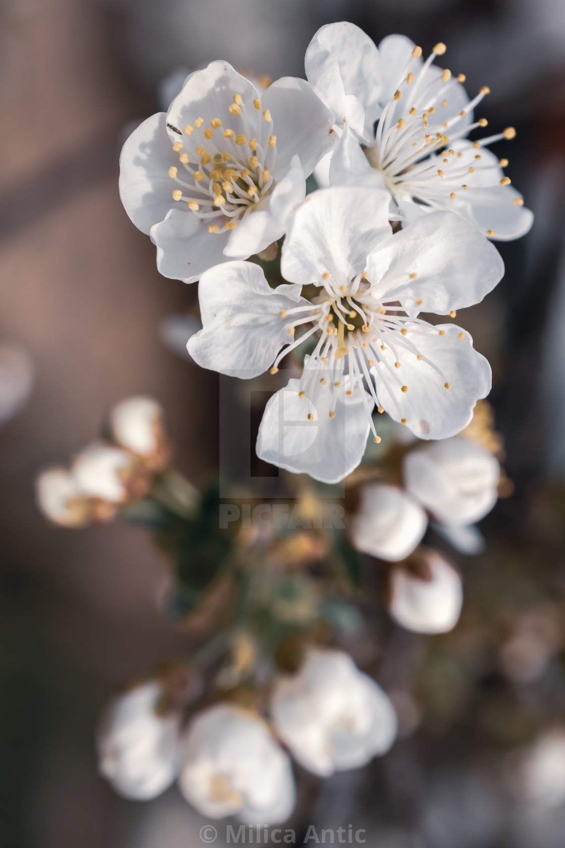 """Cherry blossom 6"" stock image"