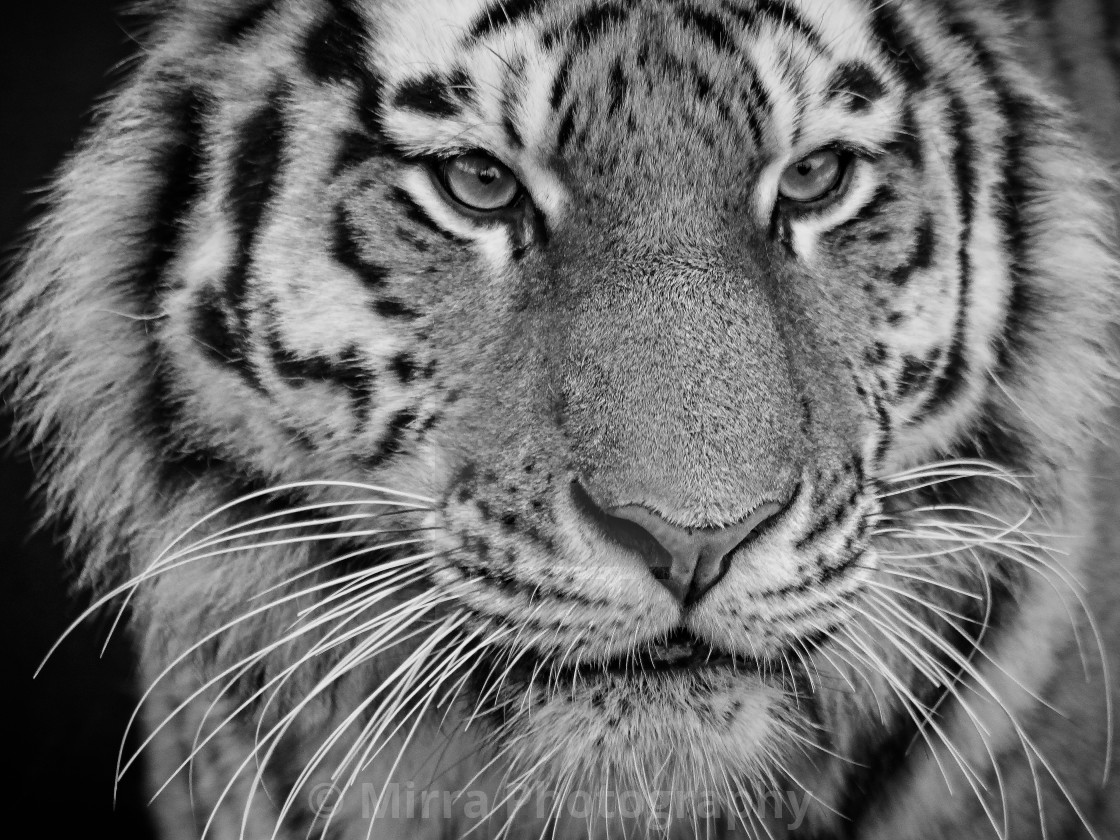 """""""Tiger in bw"""" stock image"""