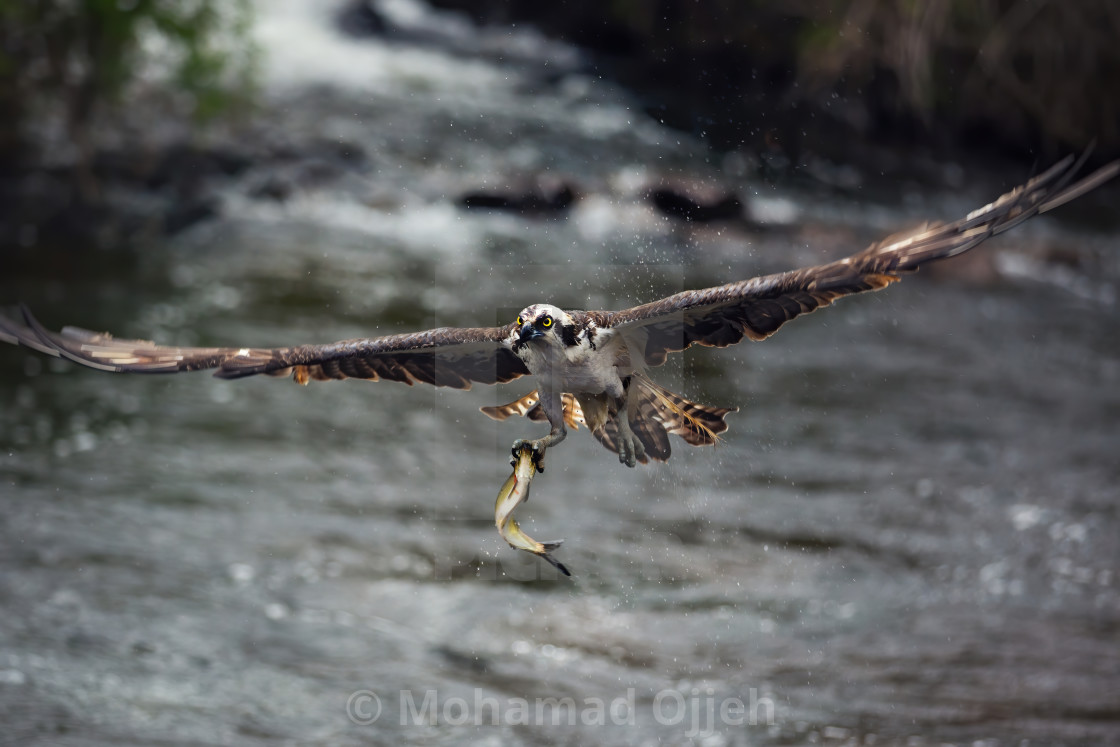 """""""Osprey with a catch"""" stock image"""