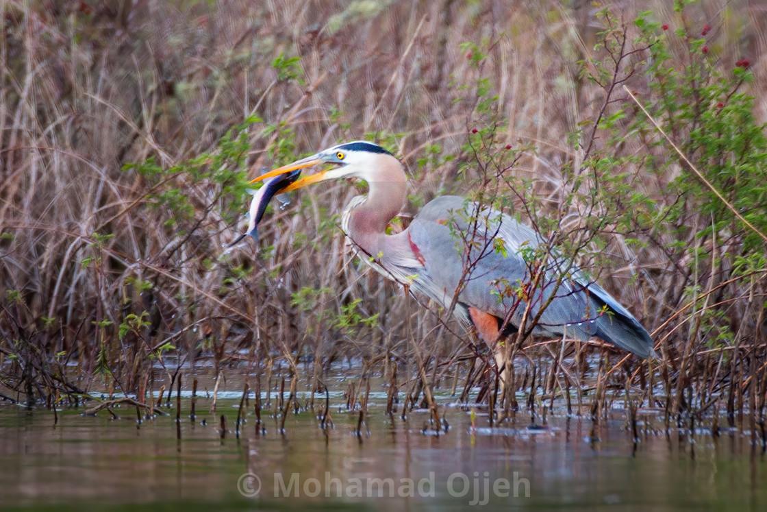 """Great blue heron"" stock image"