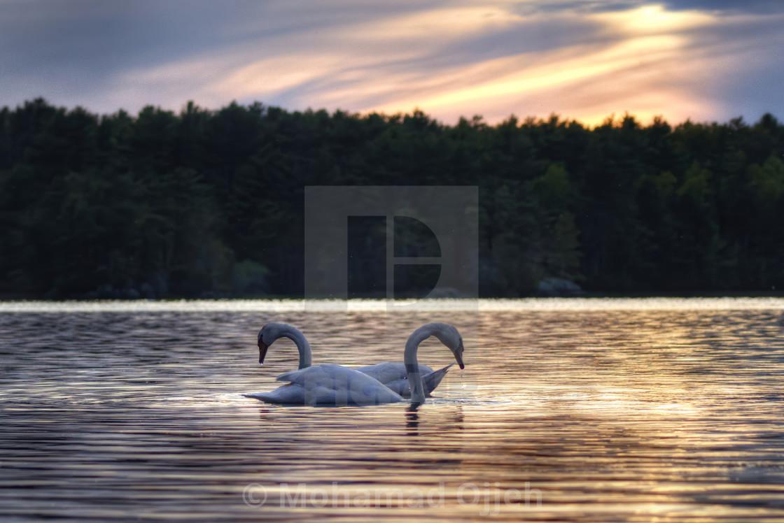"""swan sunset at waterworks"" stock image"