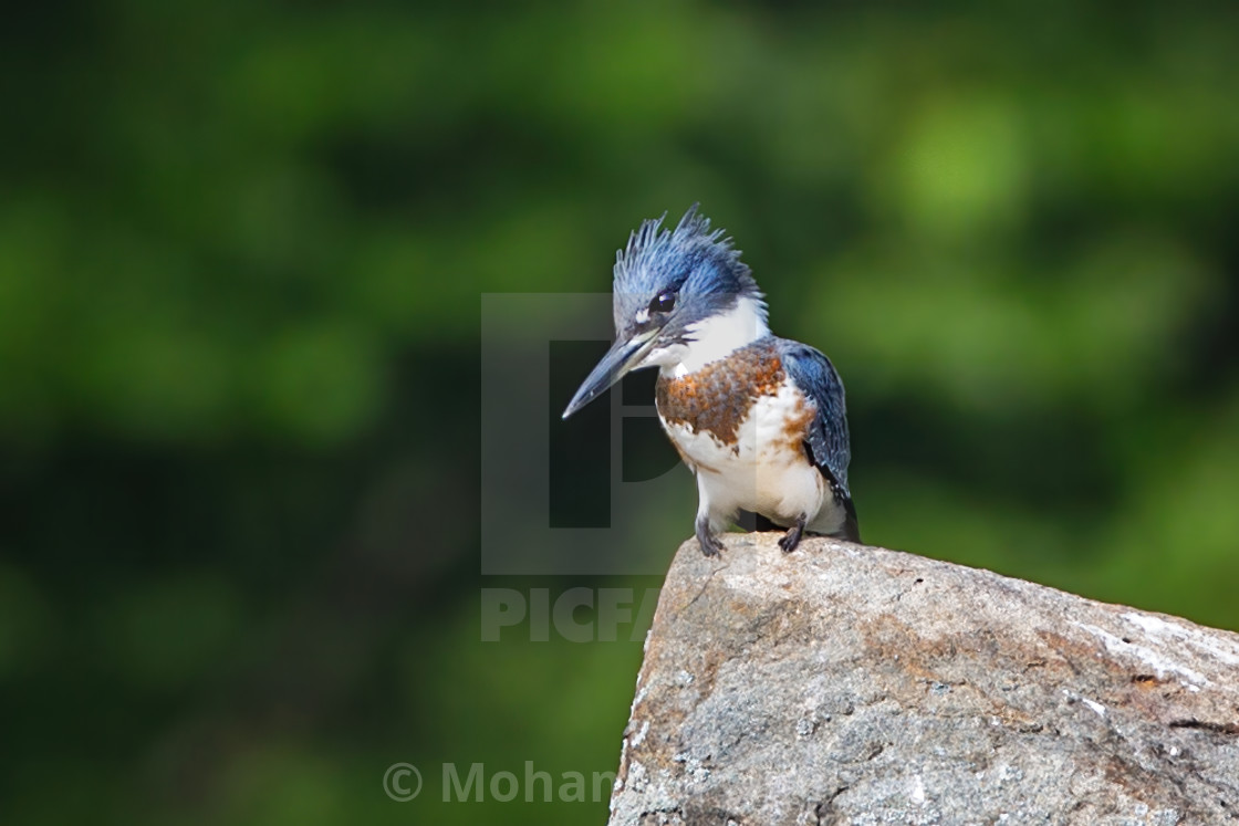 """""""Belted Kingfisher 3"""" stock image"""