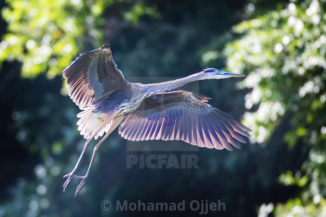 """Great Blue Heron 4"" stock image"