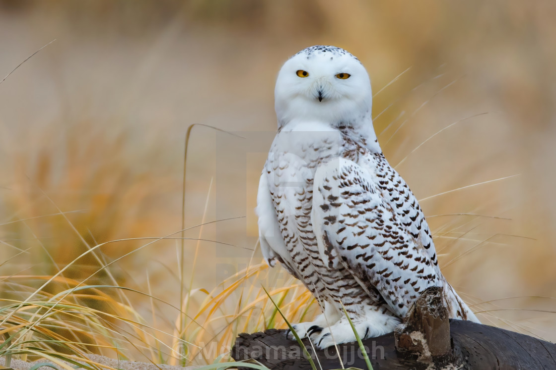 """Snow owl"" stock image"