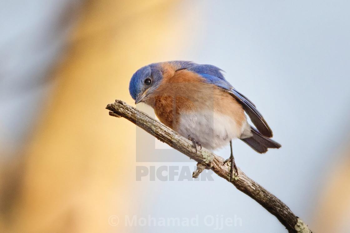"""Blue bird"" stock image"