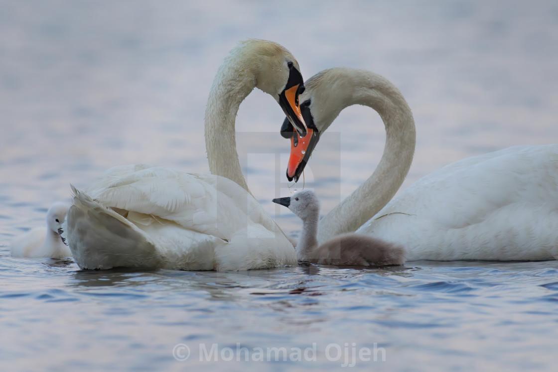 """swans family love"" stock image"