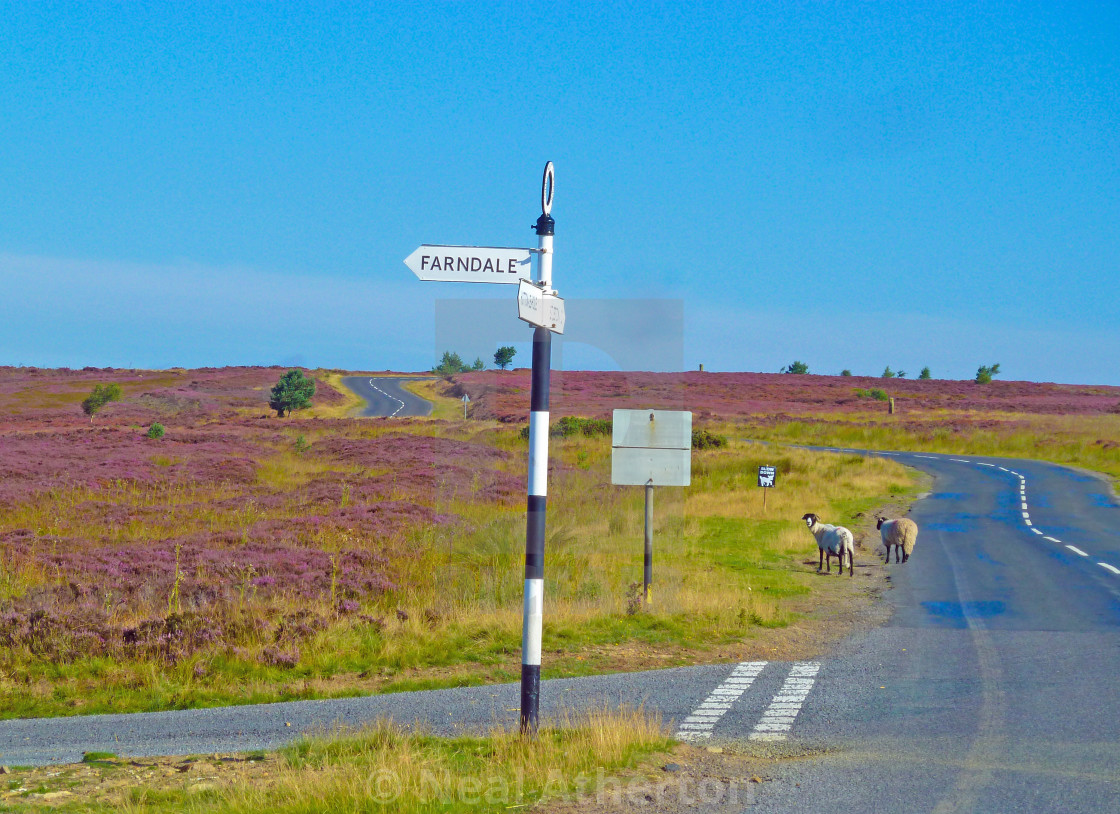 Rush hour on the North Yorkshire Moors