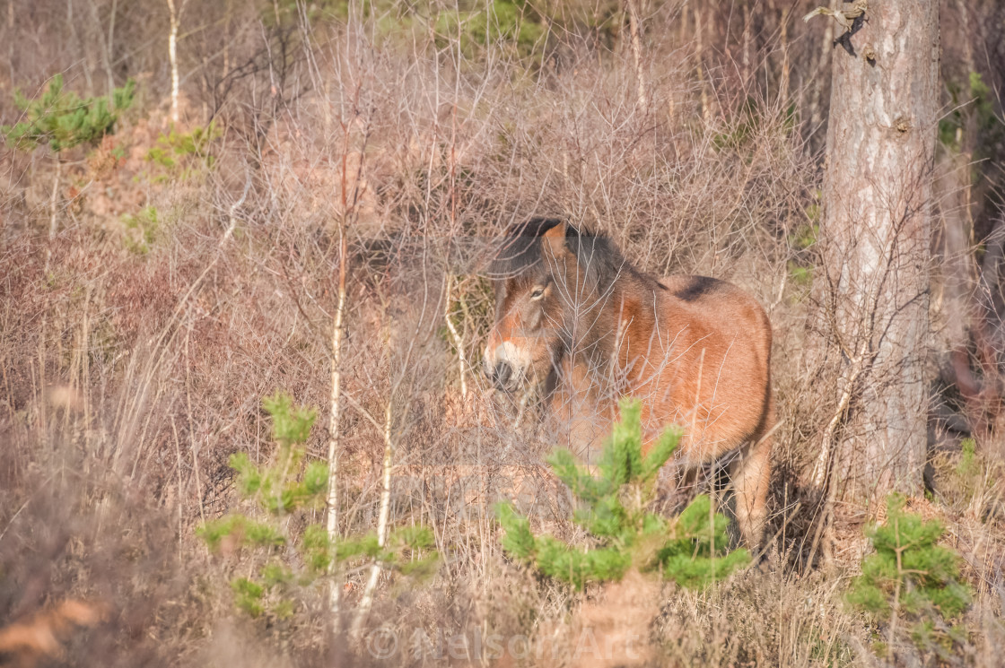 """Exmoor pony in woodland"" stock image"