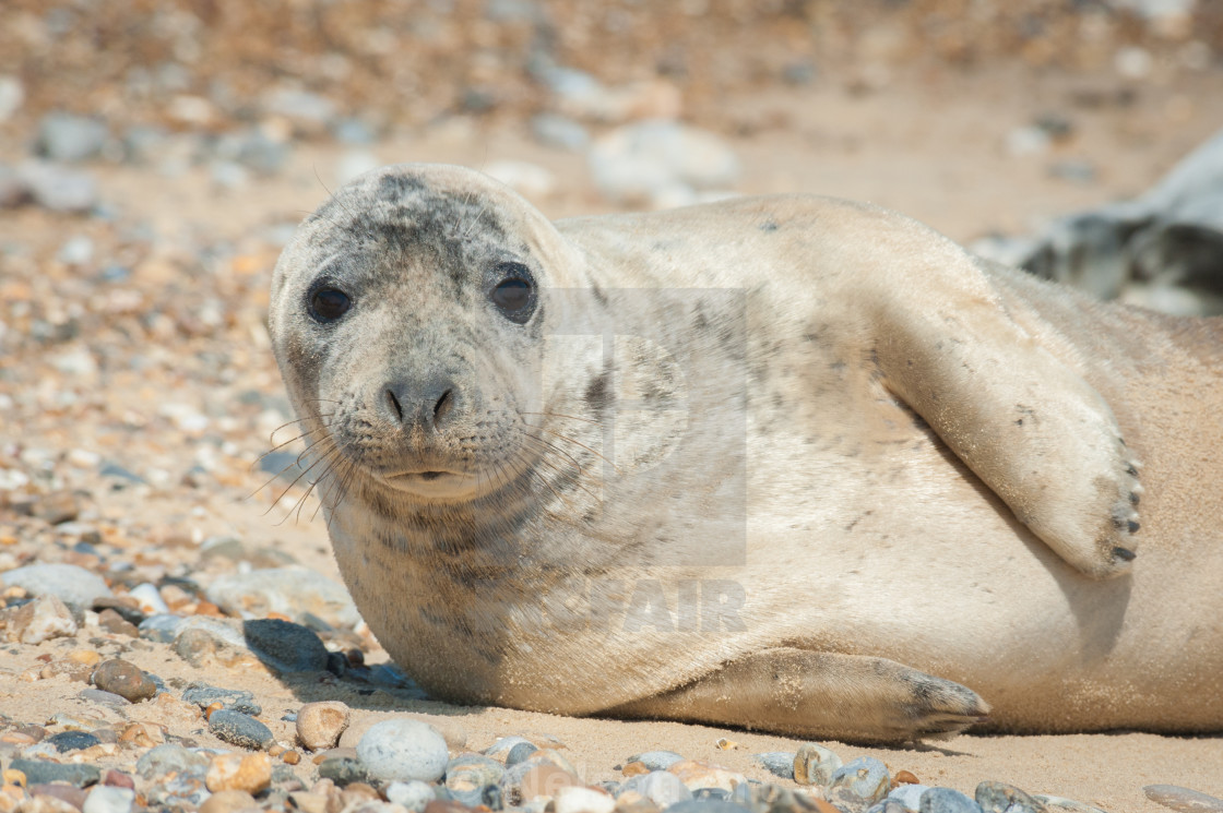 """""""thoughtful seal pup close-up"""" stock image"""