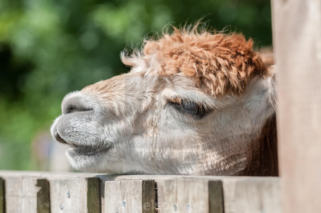 """sleepy alpaca"" stock image"