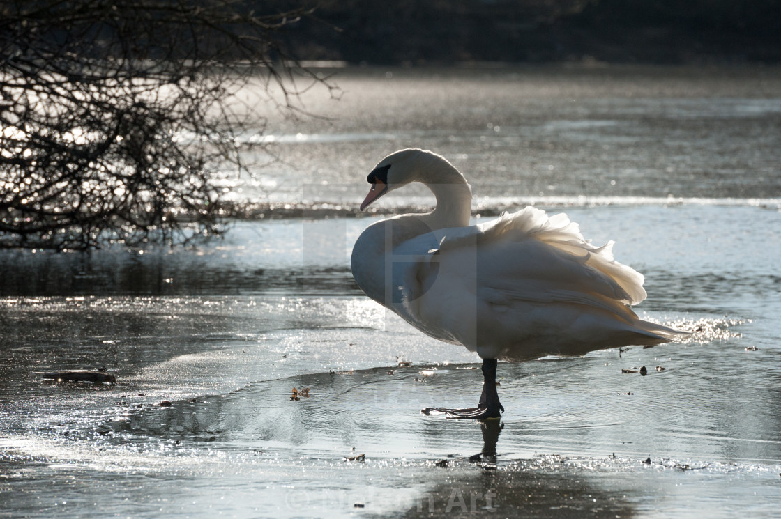 """""""swan on a frozen lake"""" stock image"""