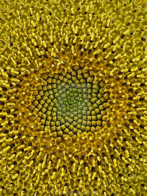"""pollen, sunflower centre, yellow flower"" stock image"