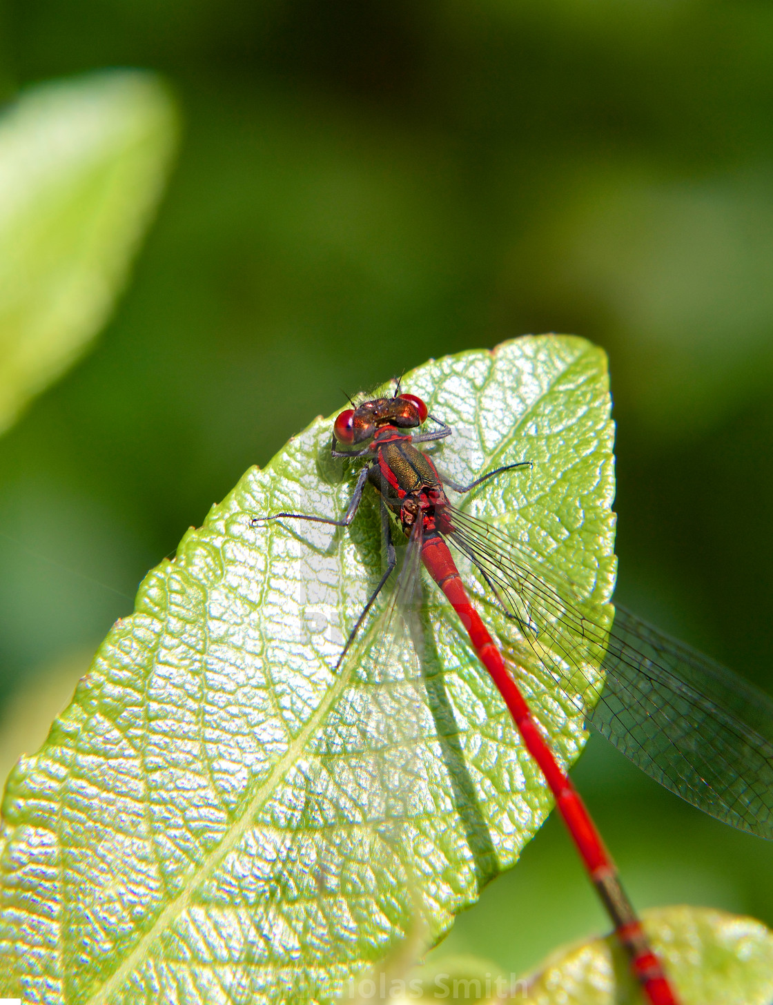 """""""Red dragon fly on leaf"""" stock image"""