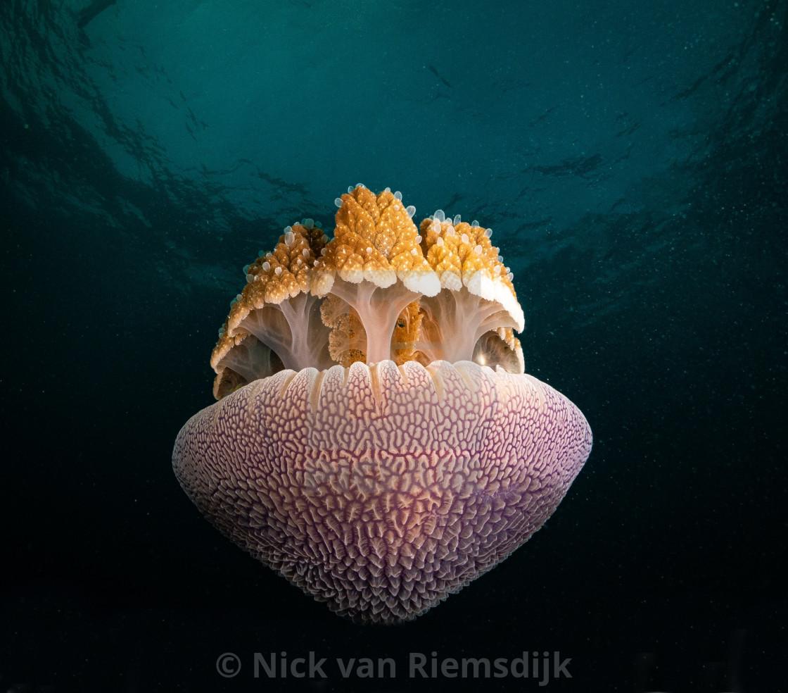 """Canon ball jellyfish"" stock image"