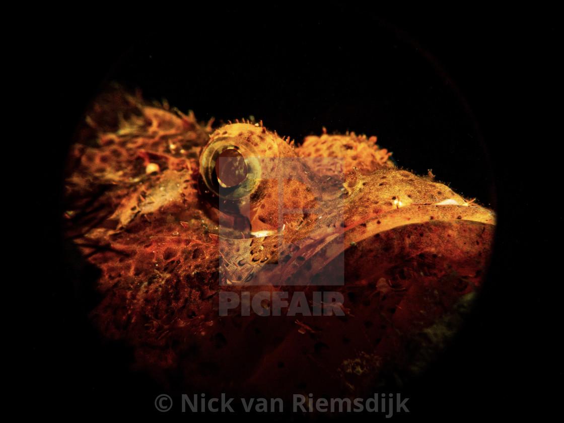 """""""Scorpion fish a night"""" stock image"""