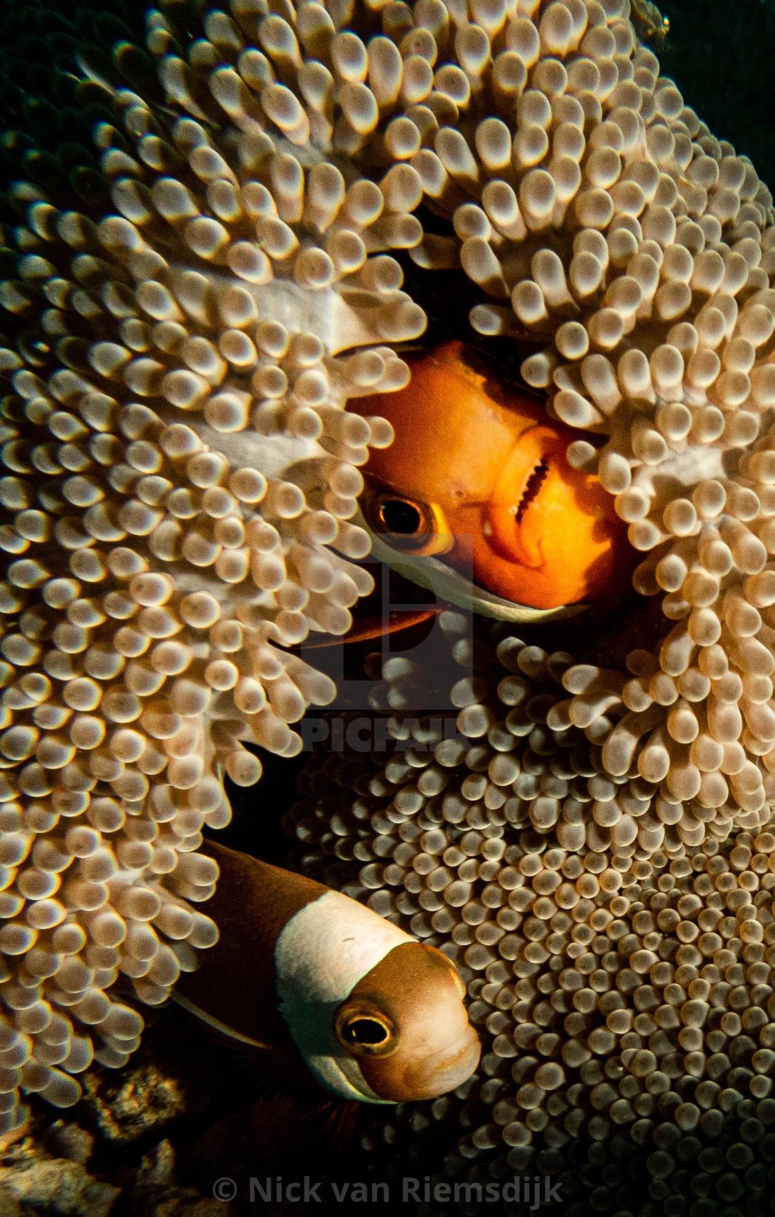 """Clown fish"" stock image"