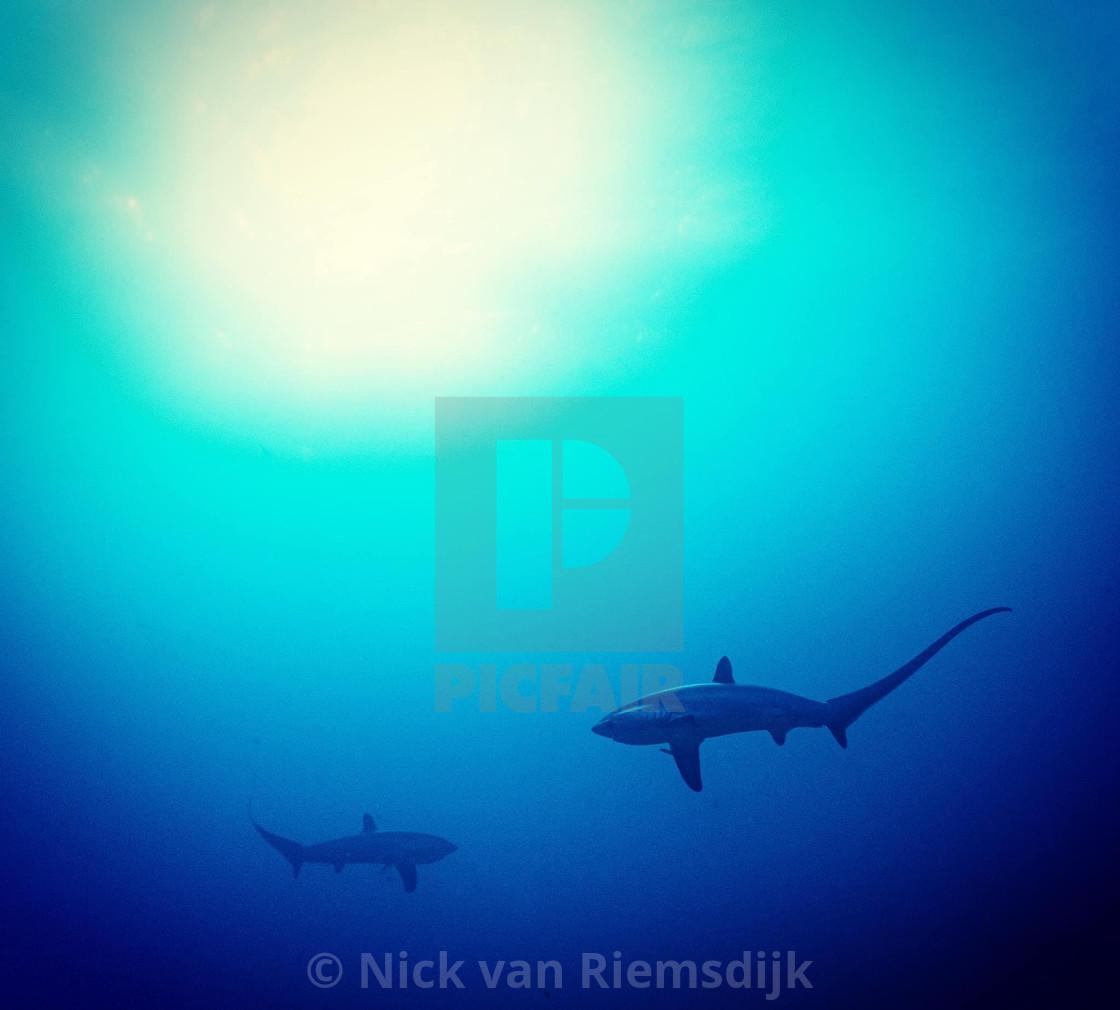 """Pelagic thresher sharks"" stock image"