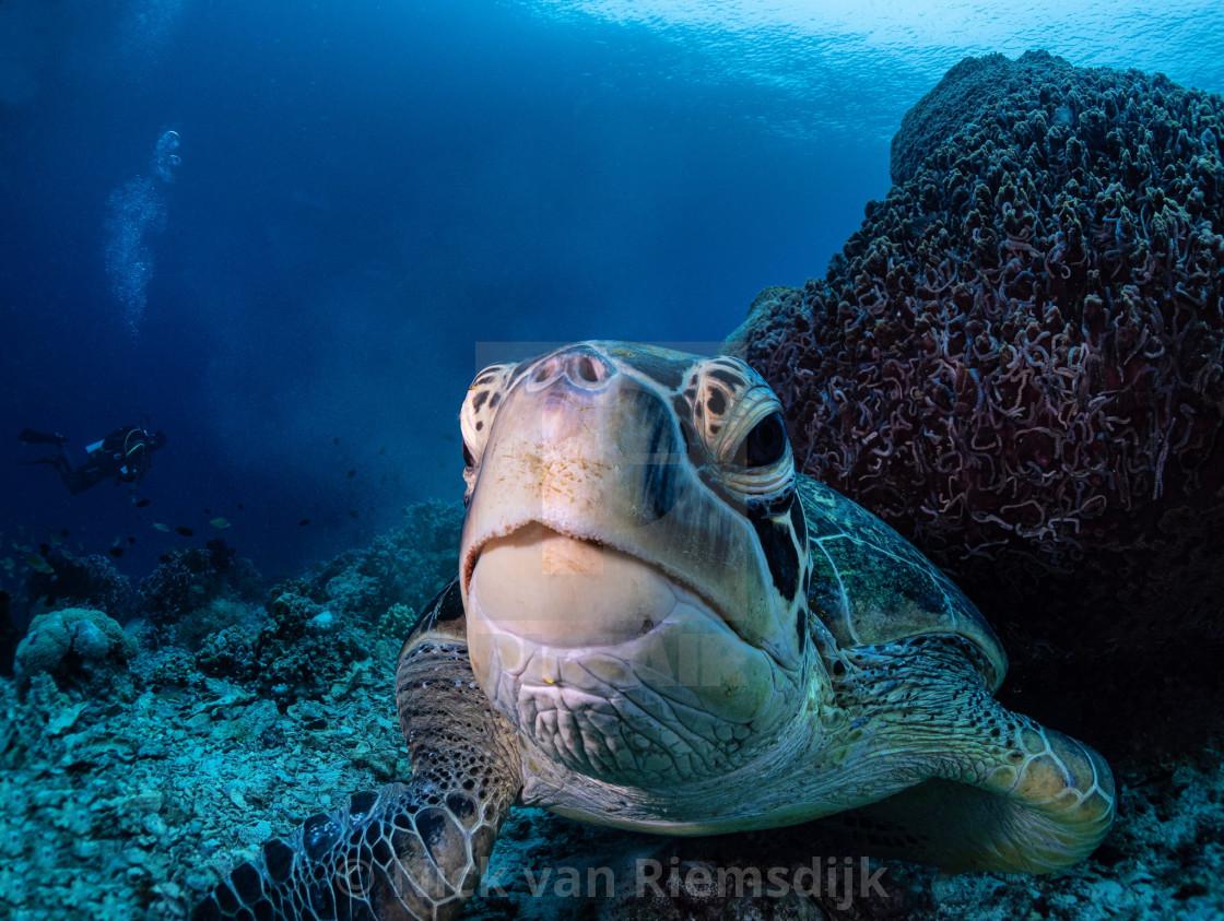 """Green turtle"" stock image"
