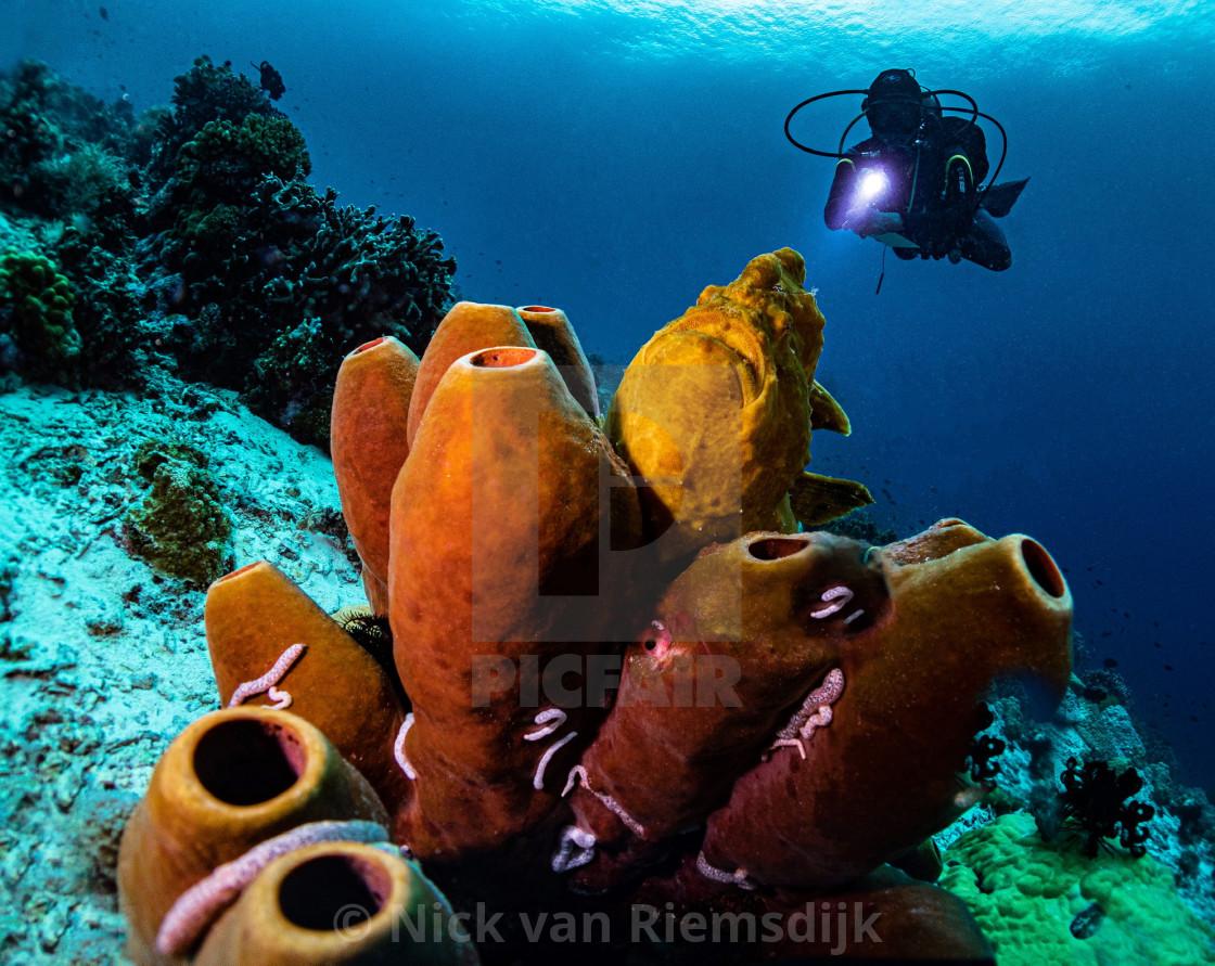 """Frog fish on tube sponge"" stock image"