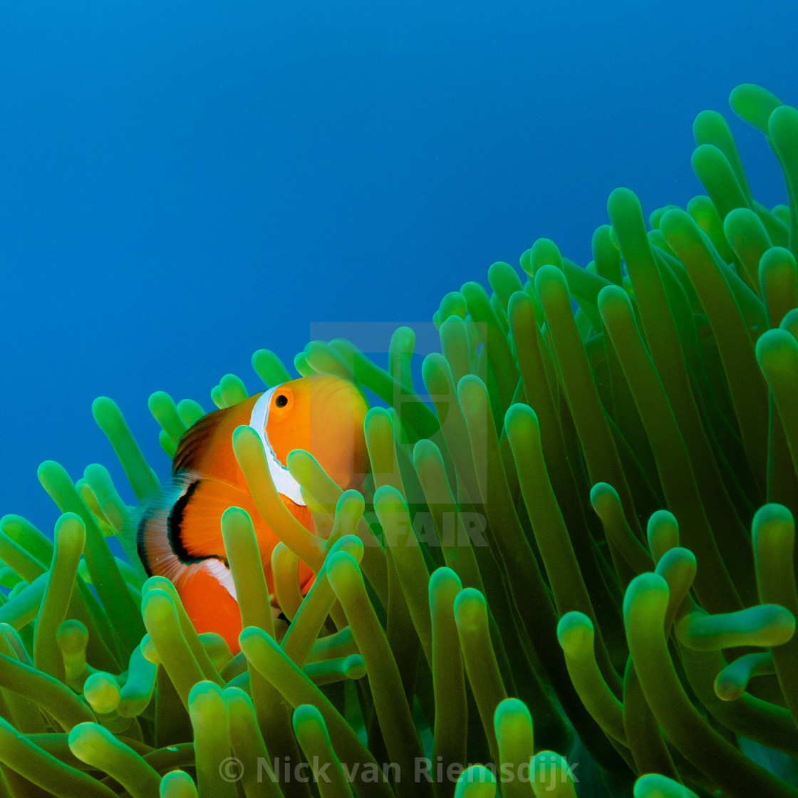 """""""Clownfish in Philippines"""" stock image"""