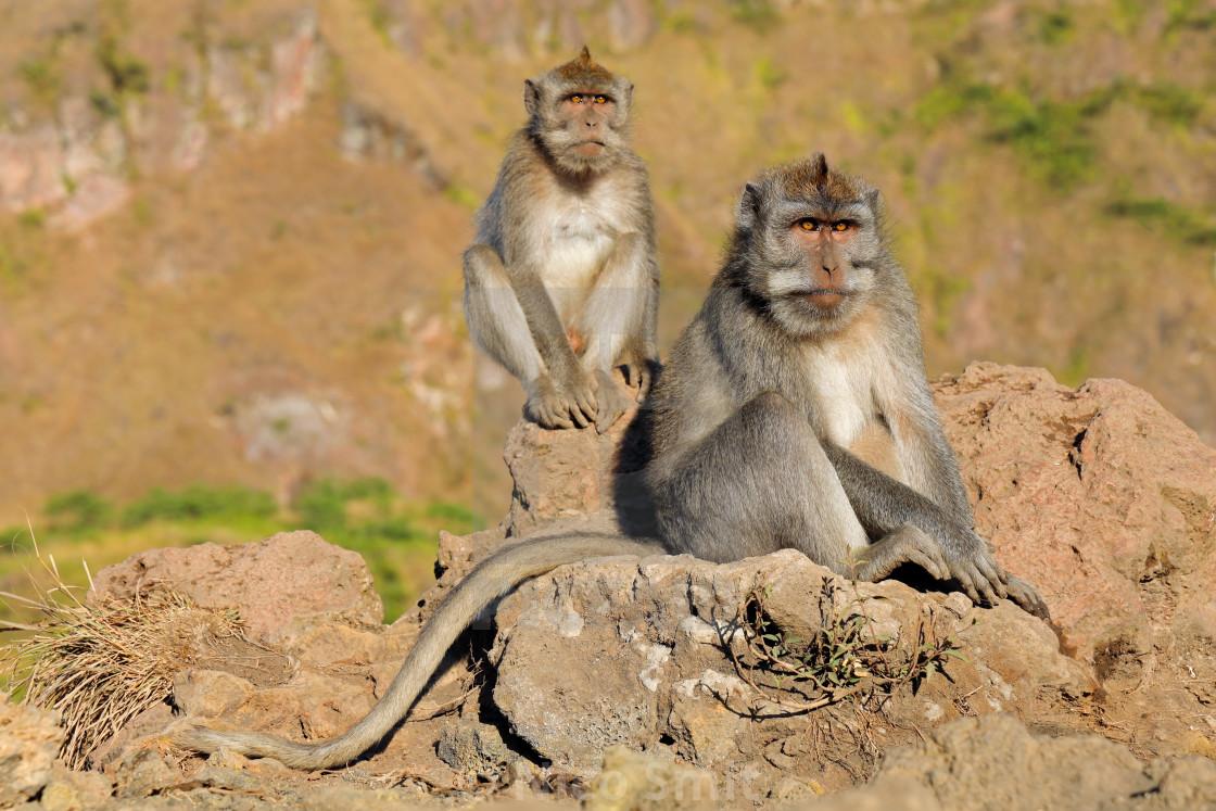 """Balinese long-tailed monkeys - Indonesia"" stock image"