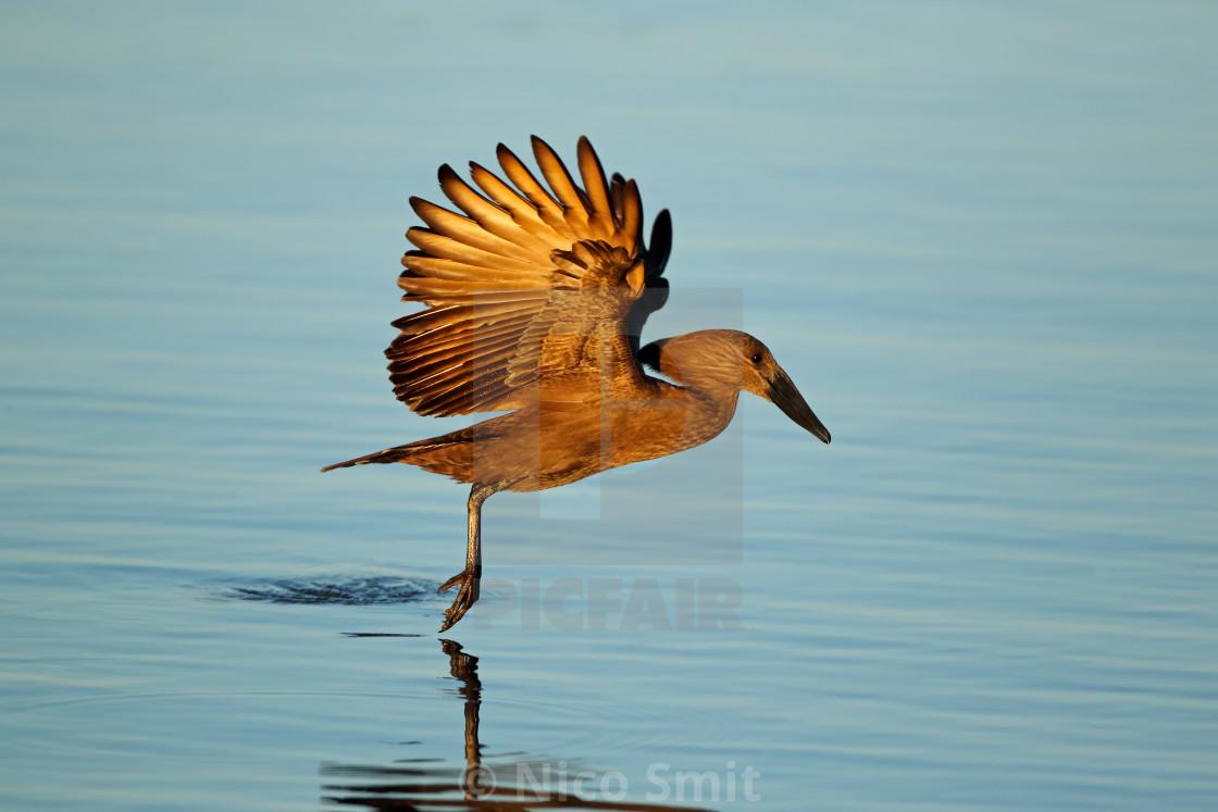 """""""Hamerkop bird in flight over water"""" stock image"""
