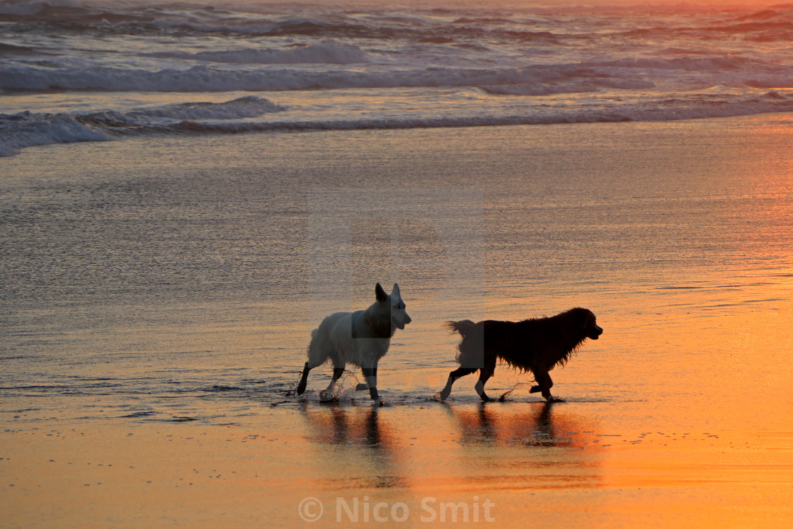 """""""Dogs on scenic beach at sunset"""" stock image"""