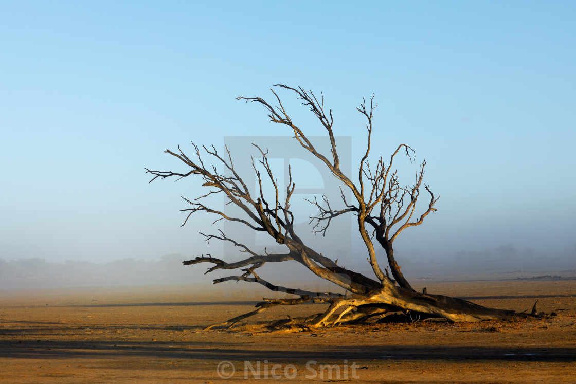 """Tree in mist - Kalahari desert"" stock image"