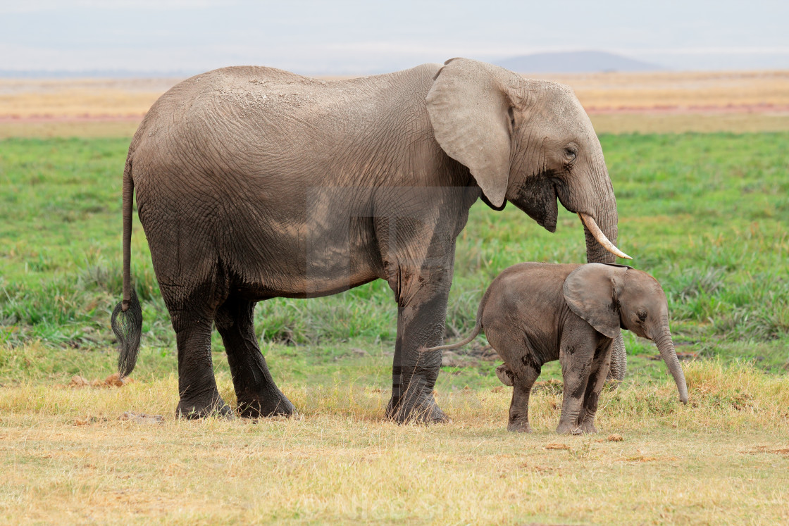 """""""African elephant with calf - Amboseli National Park"""" stock image"""