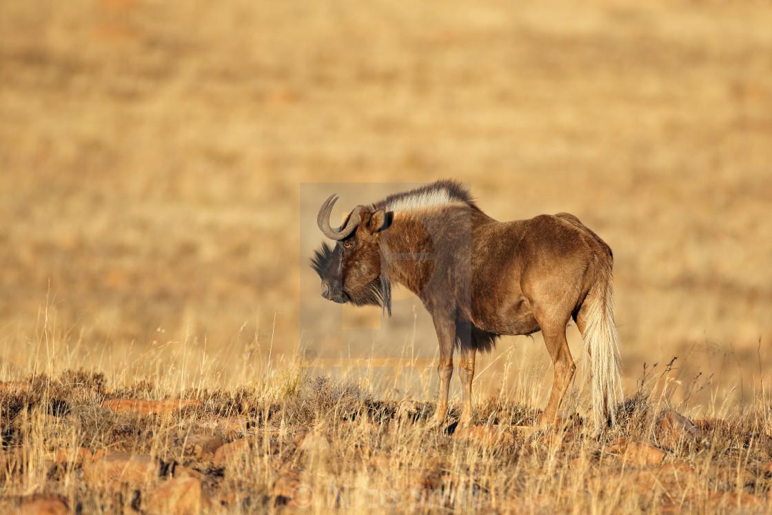 """Black wildebeest - Mountain Zebra National Park"" stock image"