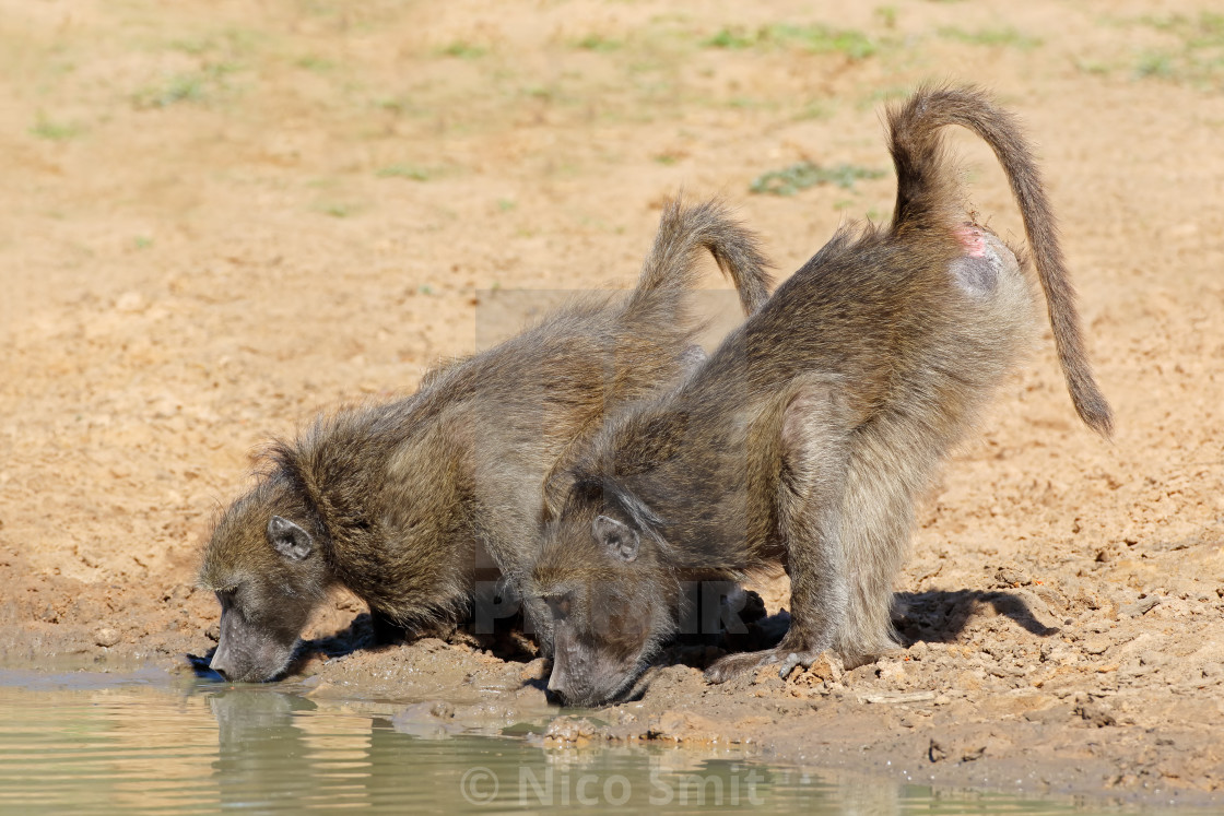 """""""Chacma baboons drinking water"""" stock image"""
