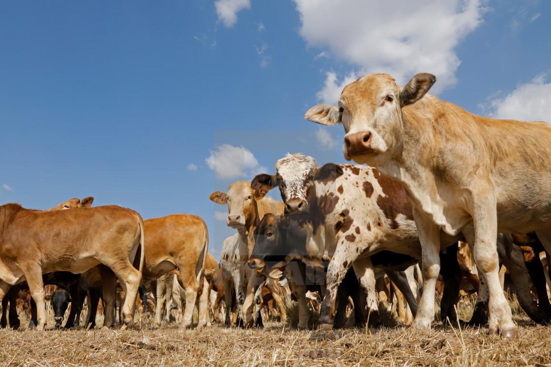 """Free-range cattle on rural farm"" stock image"