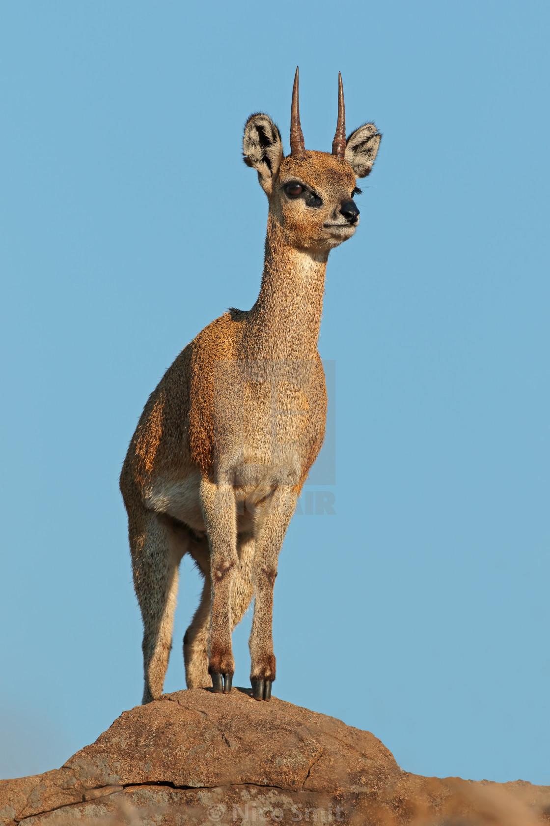 """Klipspringer antelope on a rock"" stock image"
