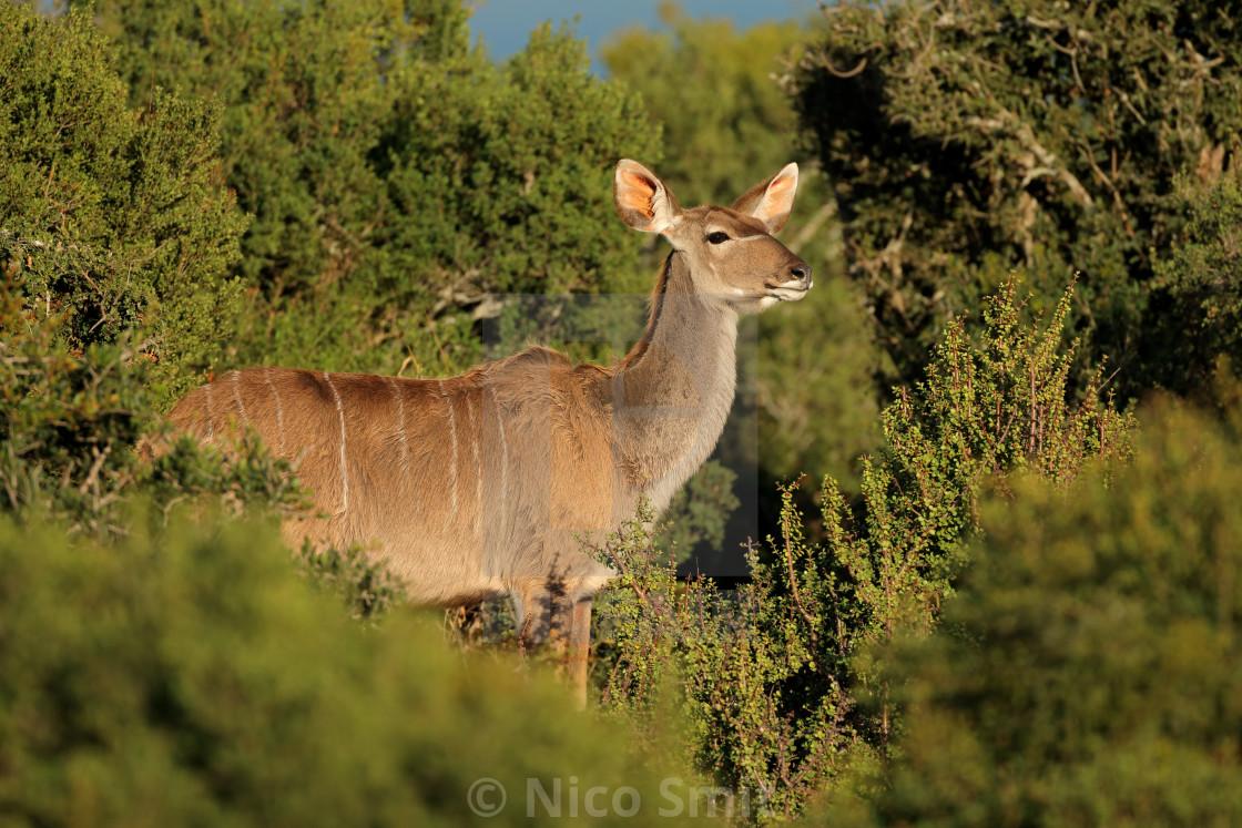 """""""Kudu antelope in natural habitat"""" stock image"""