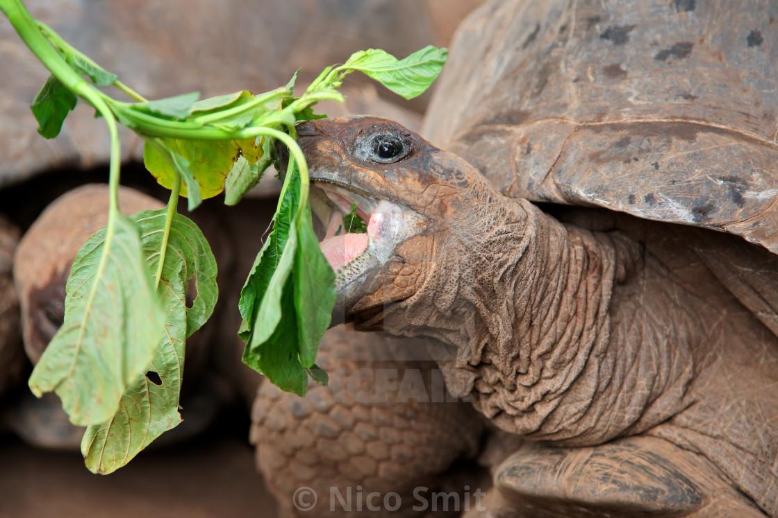 """""""Aldabra giant tortoise eating"""" stock image"""
