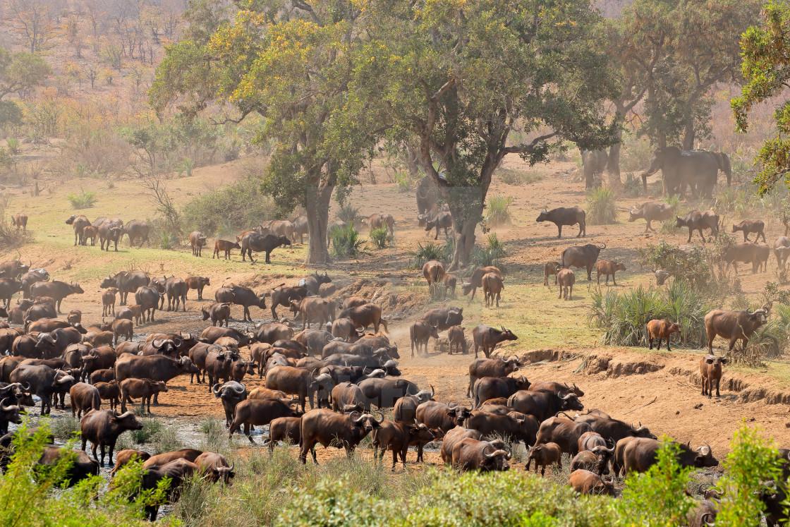 """African buffalo herd - Kruger National Park"" stock image"