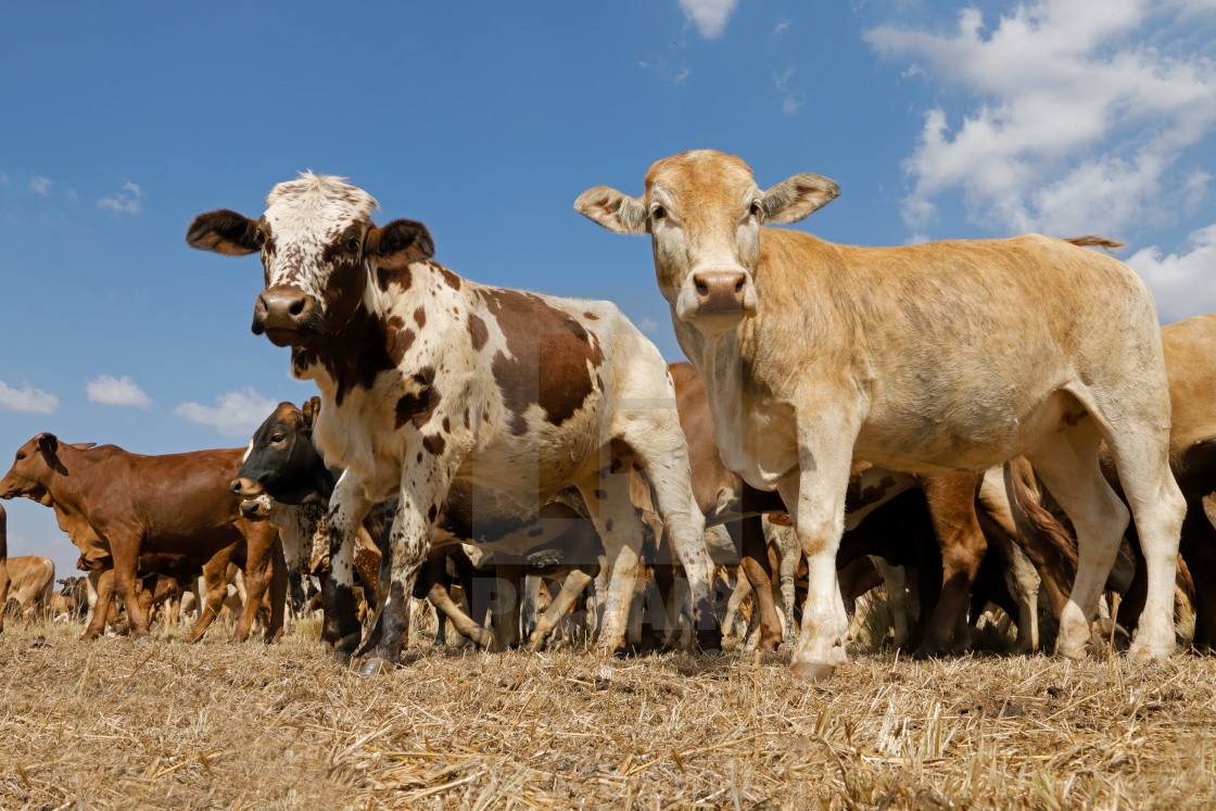 """""""Free-range cattle on a rural farm"""" stock image"""