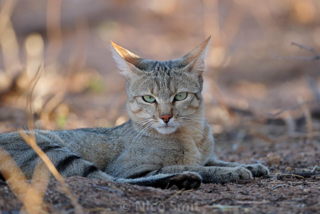 """African wild cat portrait"" stock image"