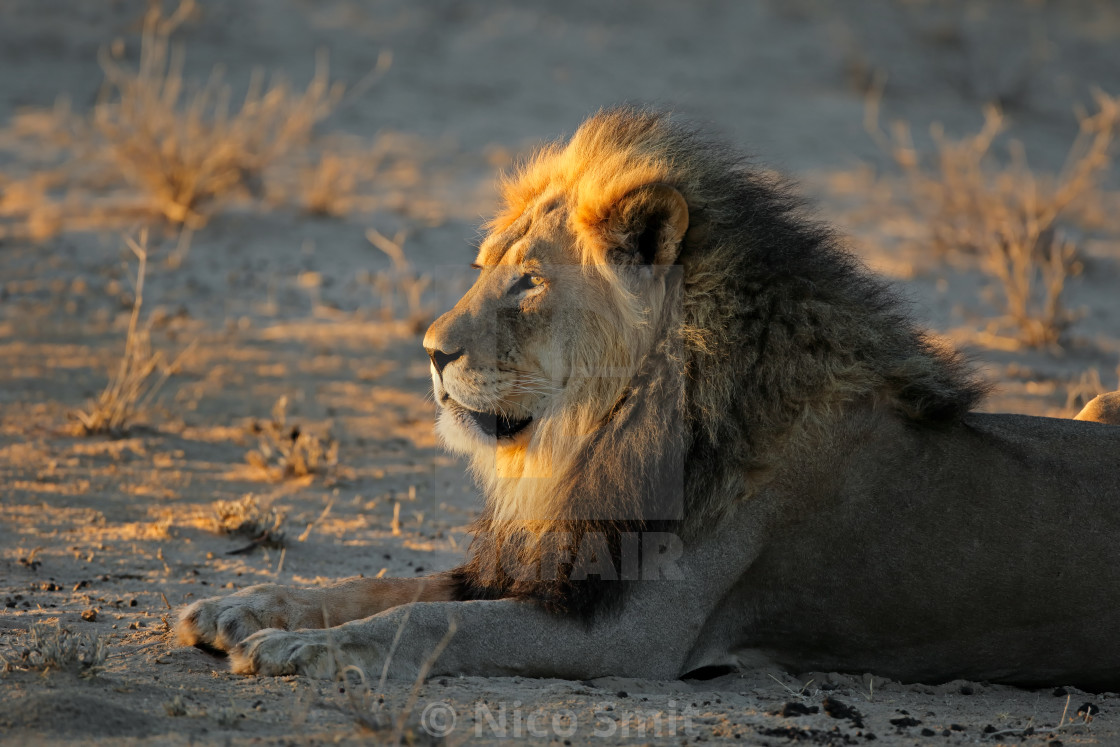 """""""African lion in early morning light"""" stock image"""