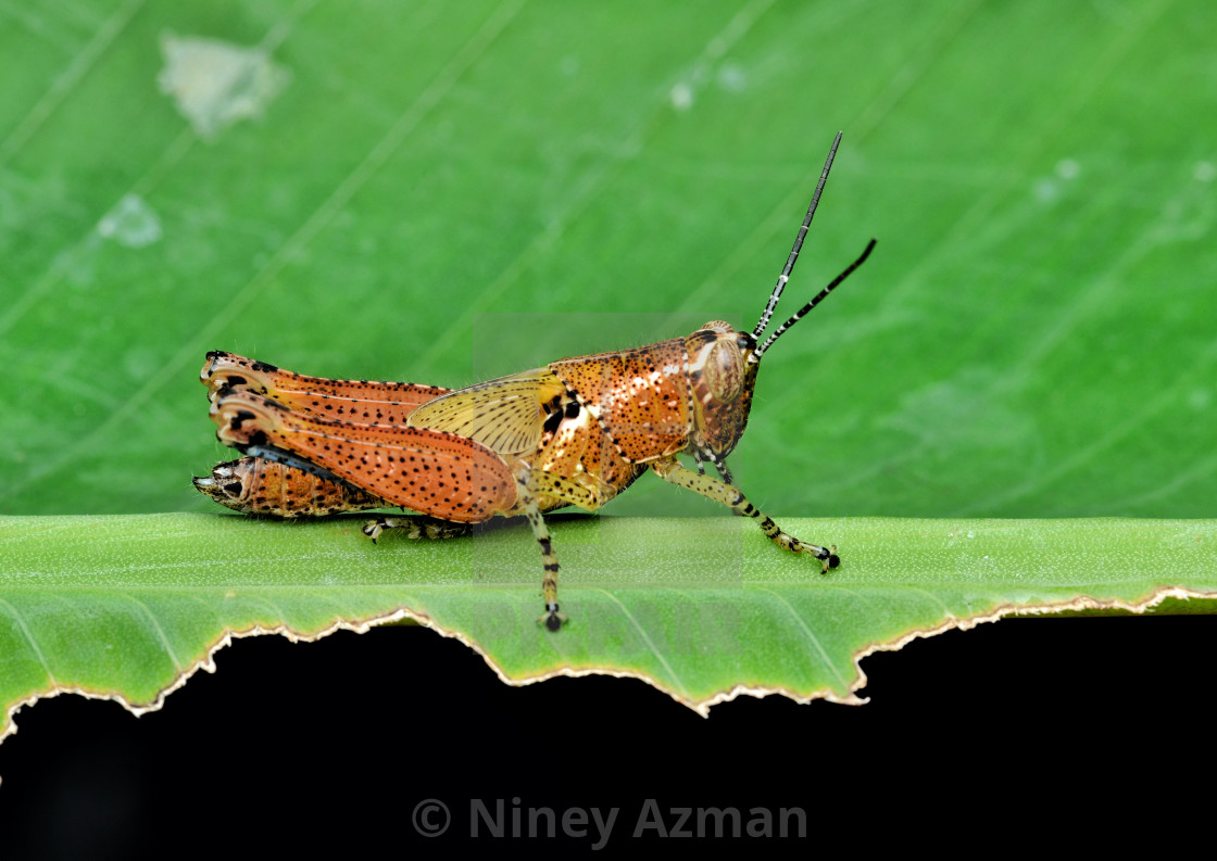 """Orange Grasshopper"" stock image"