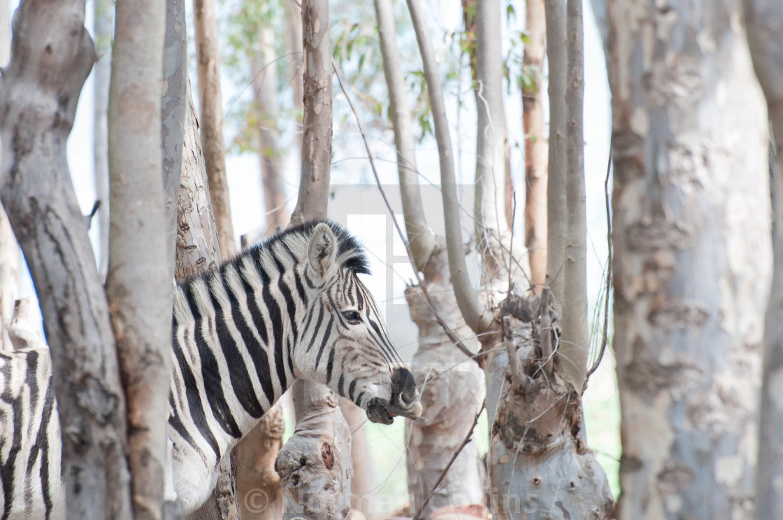"""""""Zebra in the Forest 3"""" stock image"""