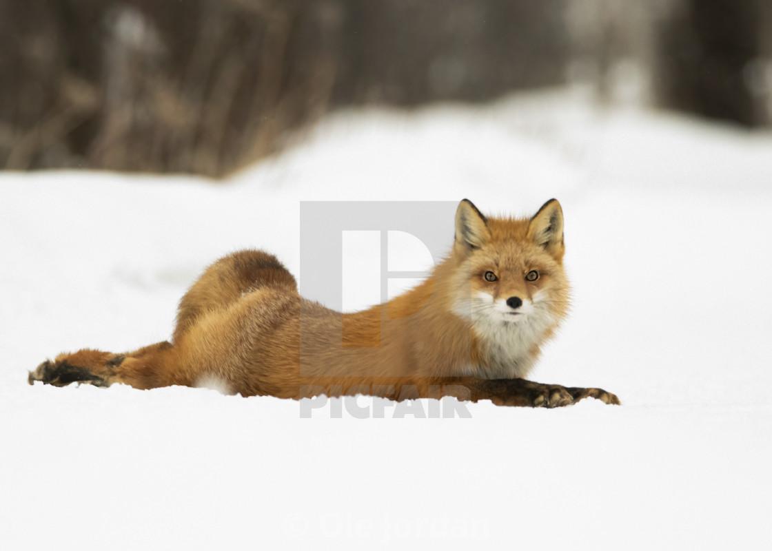 """Red fox Diva pose"" stock image"