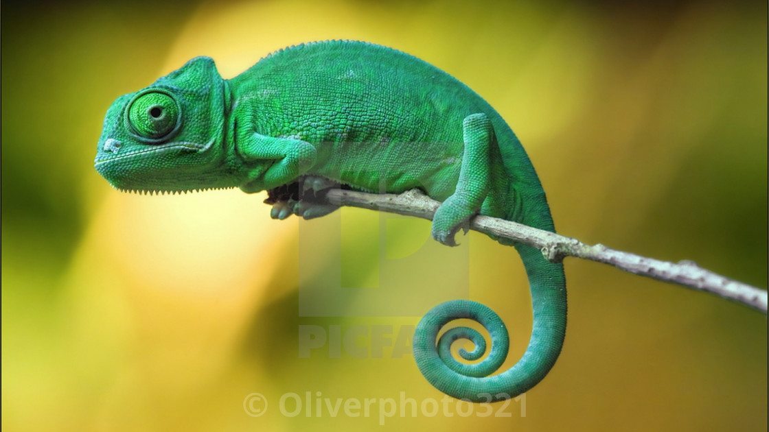 """""""Rare green camelion spotted"""" stock image"""
