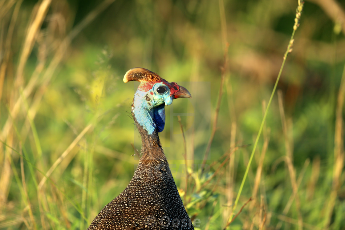 """Guineafowl"" stock image"